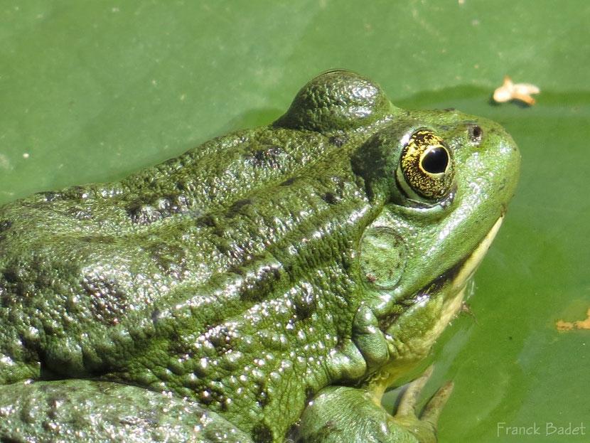 fiche animaux grenouille verte