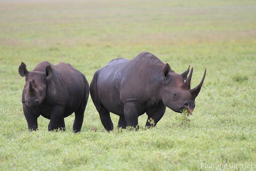 fiches animaux rhinoceros noir