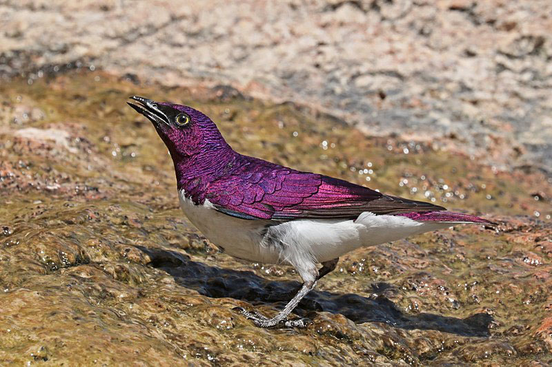 fiche animaux etourneau amethyste animal facts violet-backed starling
