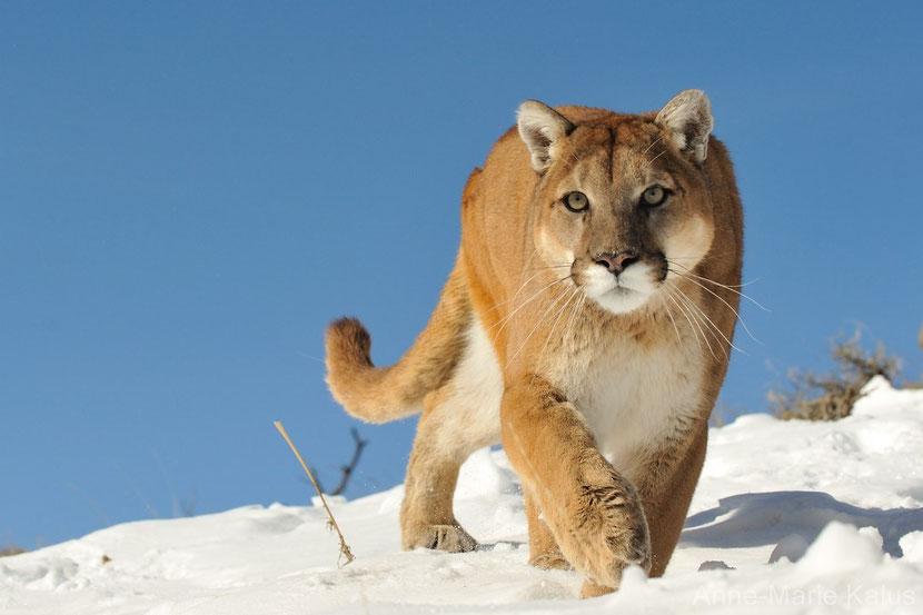 Puma Animal