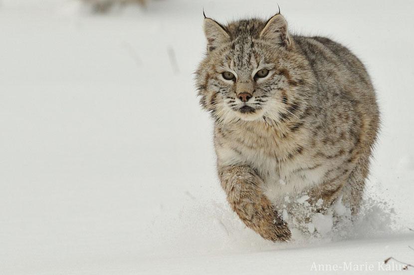 fiche animaux lynx roux bobcat