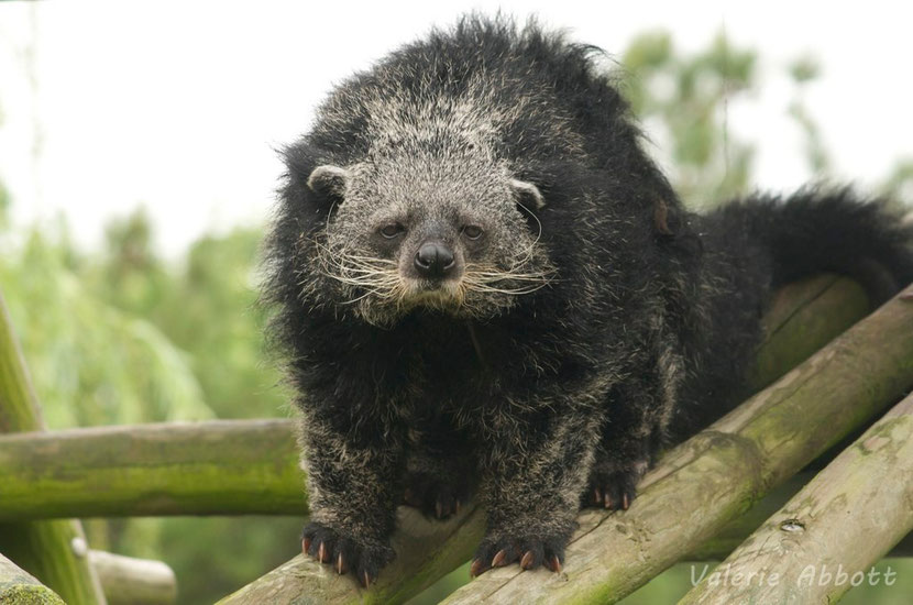 fiches animaux binturong