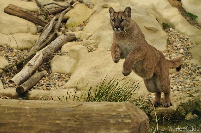 puma ou cougar