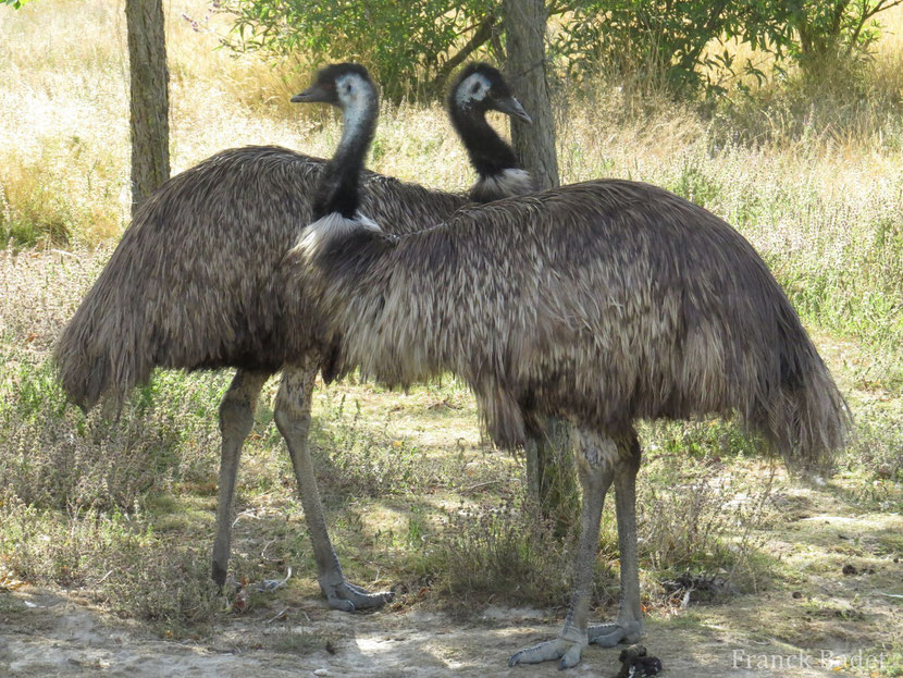 Fiche animaux emeu