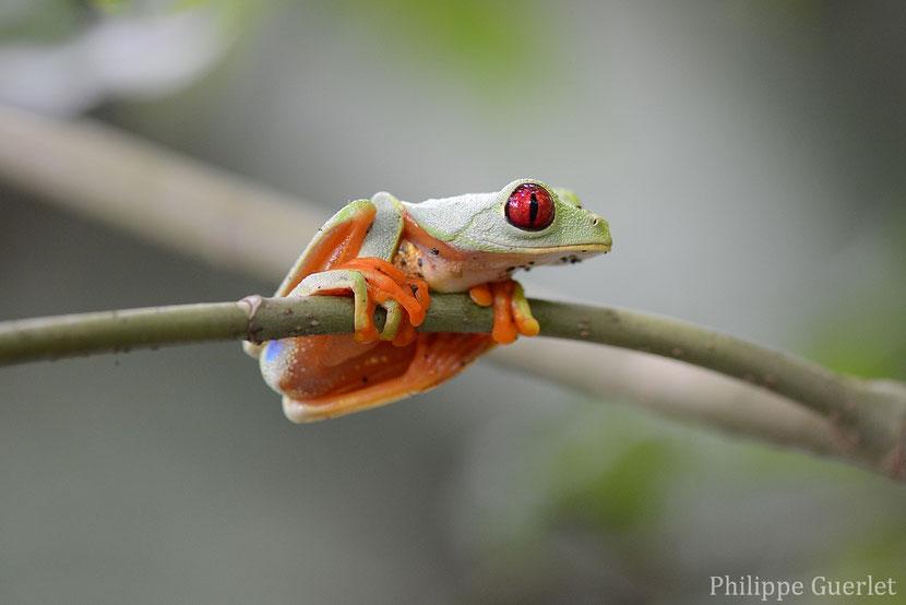 fiches animaux rainette aux yeux rouges