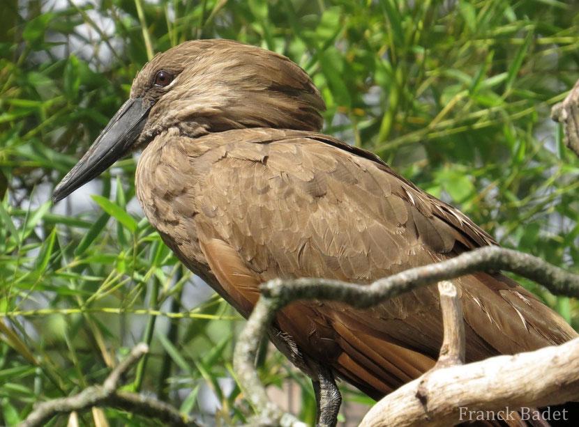 fiche oiseaux ombrette africaine
