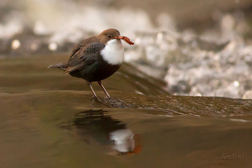animals factsheet White-throated Dipper