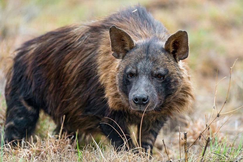 hyene brune