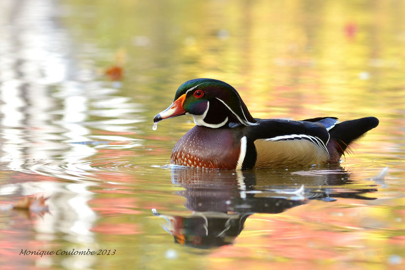 animals factsheet carolina wood duck