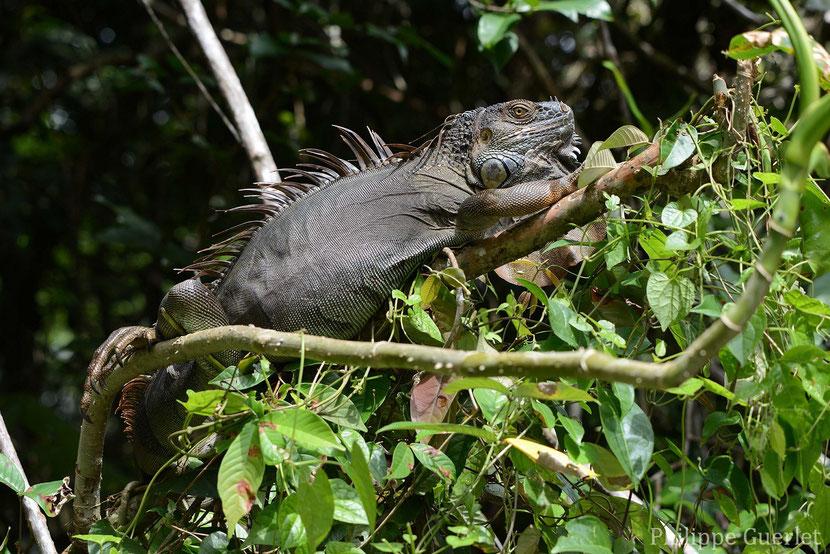fiches animaux iguane