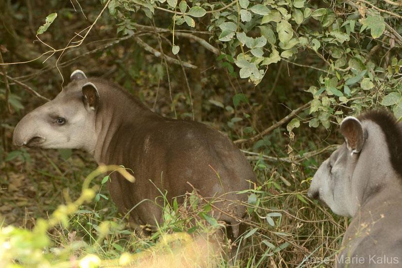 tapir du bresil