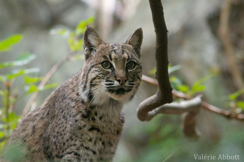 animal facts bobcat