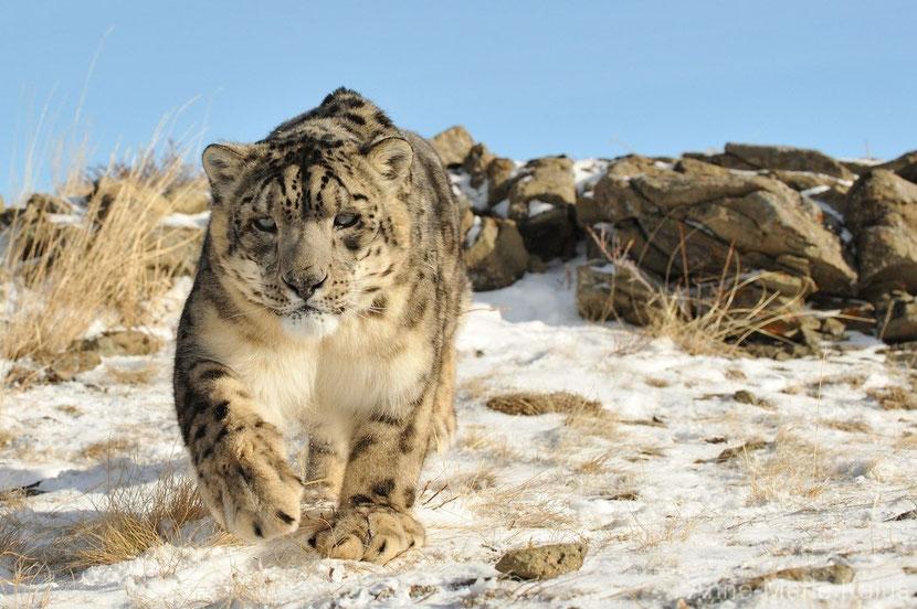 leopard des neiges
