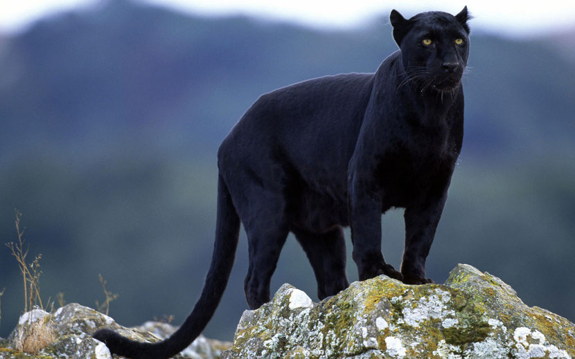 fiche panthere noire disney bagheera