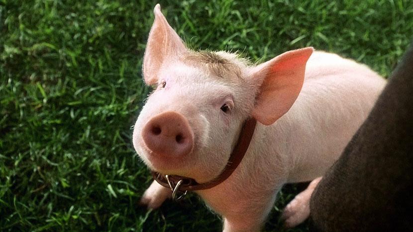 animaux celebres babe le cochon