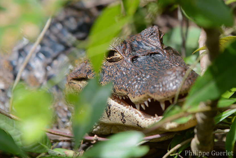 Fiches Animaux Caiman