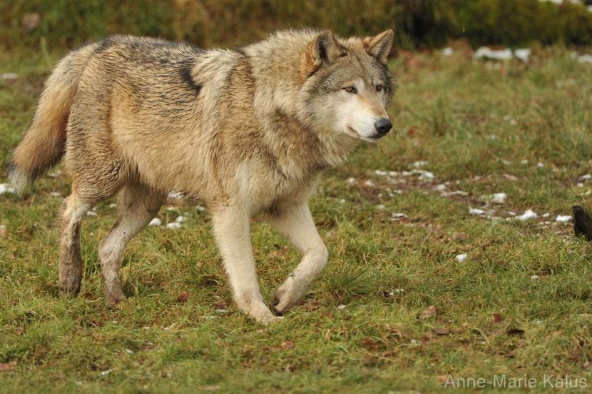 Résultats de recherche d'images pour «loup de l'Est»