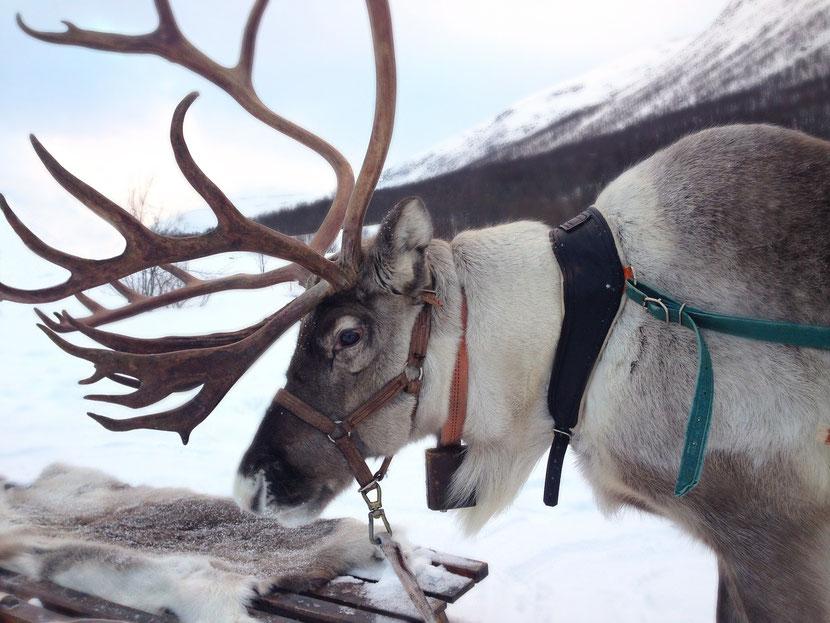 fiche animaux renne caribou