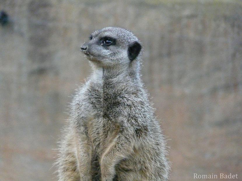 fiche animaux suricate disney timon roi lion