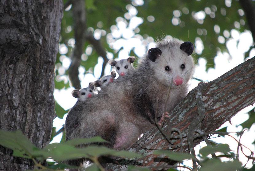 fiche animaux opossum virginie
