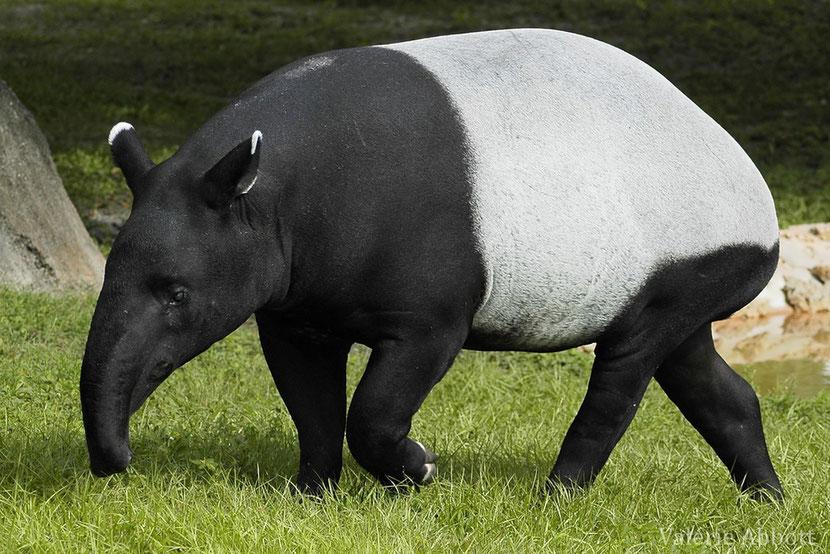 (Fiches animaux tapir de Malaisie)