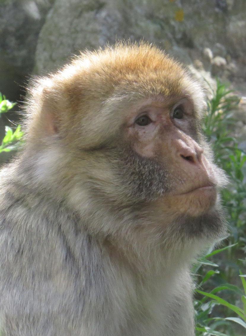macaque berbère
