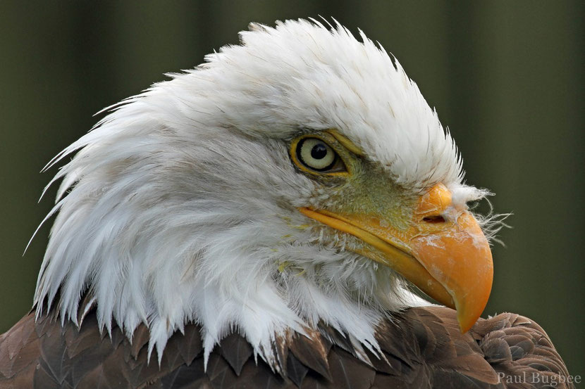 pygargue bald eagle