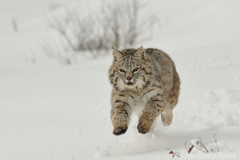 fiche animaux  lynx roux animal facts bobcat