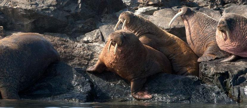 fiche animaux morse facts walrus