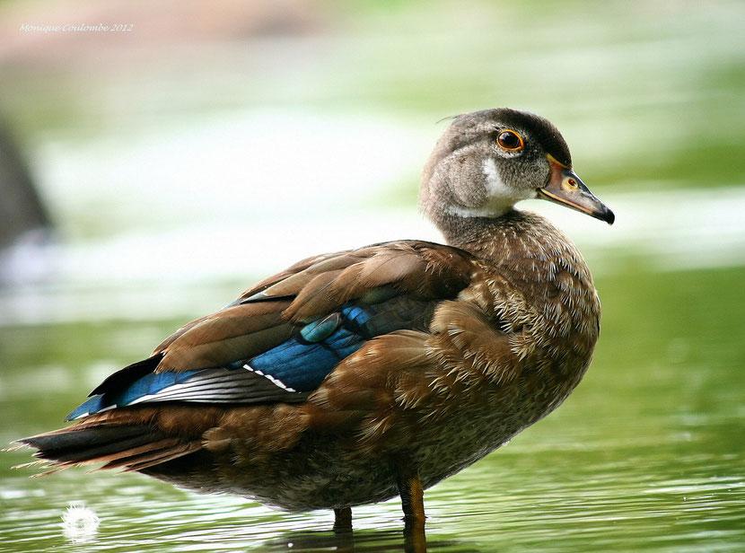 fiche animaux canard branchu juvenile