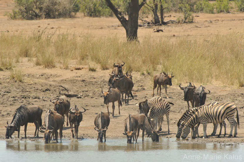 gnous et zebres