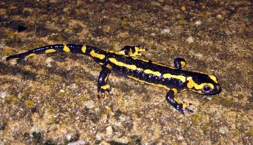 fiches animaux salamandre tachetee