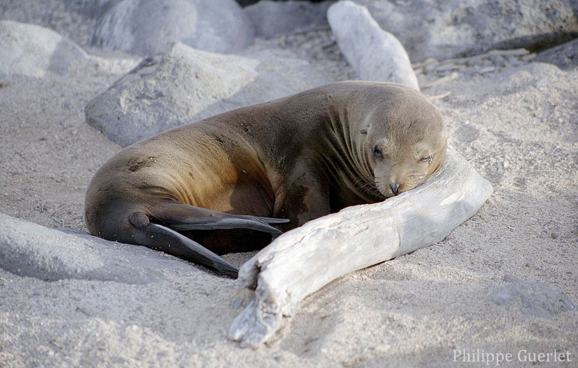fiches animaux otarie des galapagos