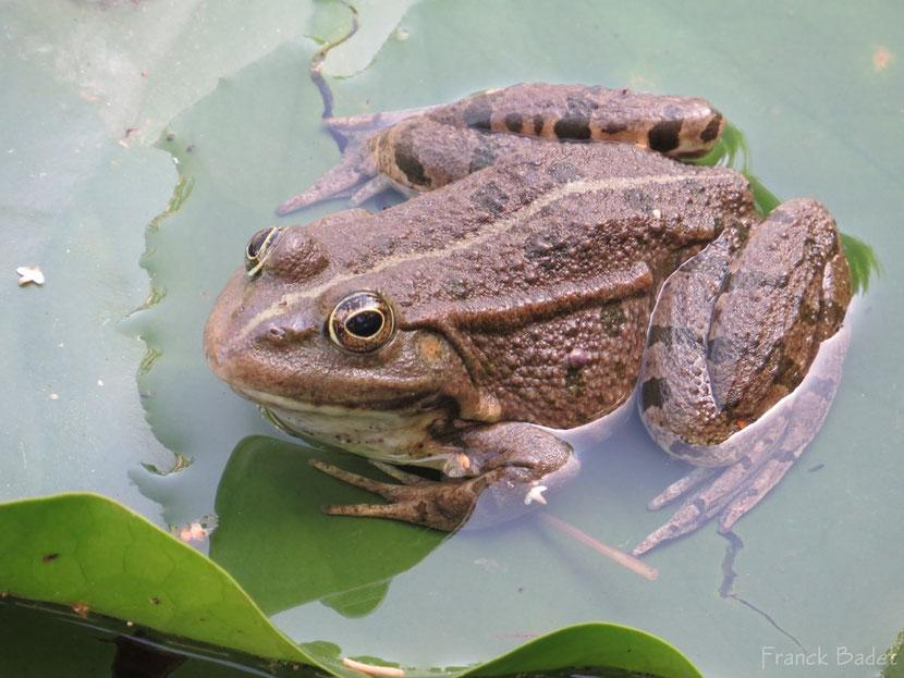 fiche animaux grenouille commune
