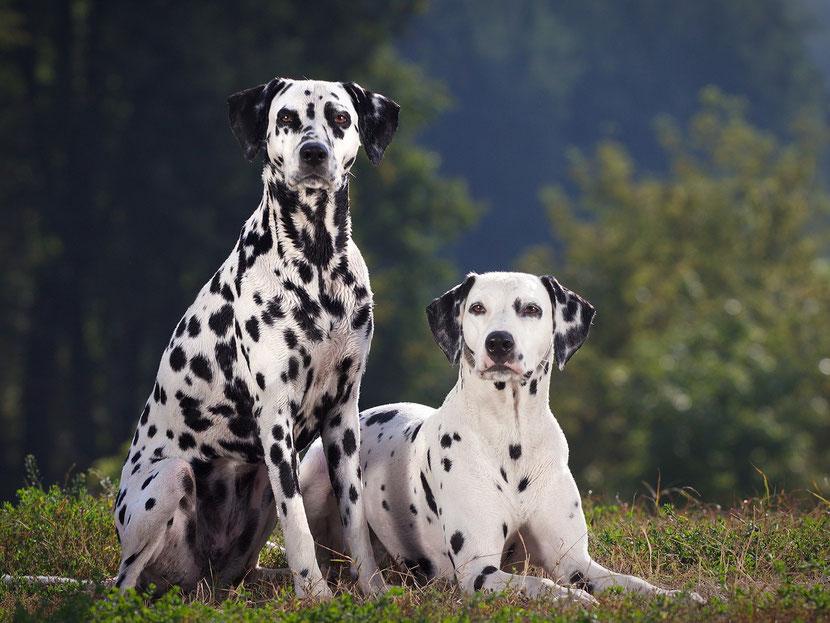 fiche animaux disney dalmatiens chien