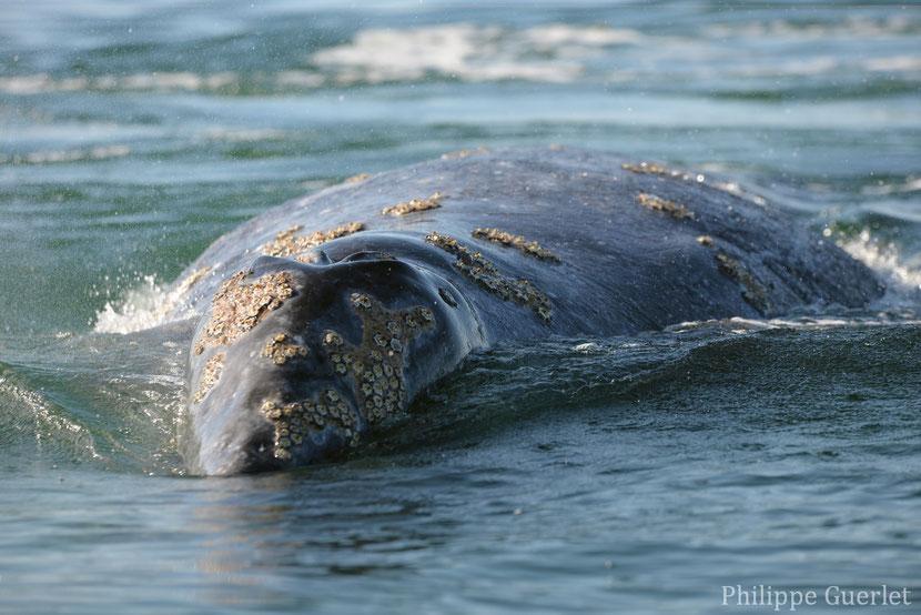 fiches animaux baleine grise