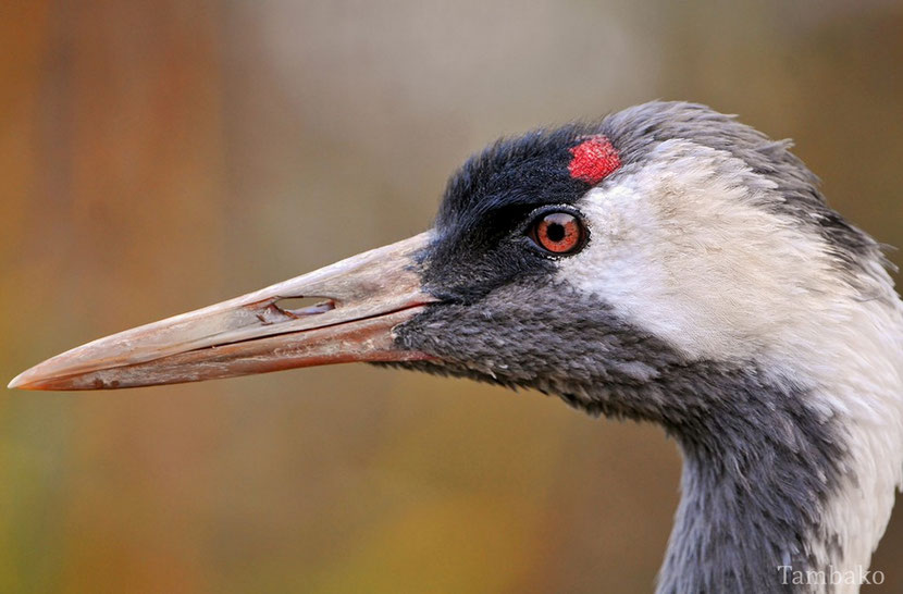 fiche oiseaux grue du japon