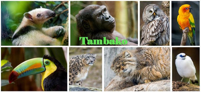 Tambako