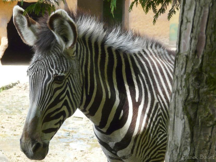 zebre de grevy