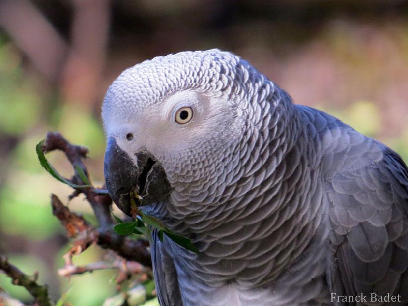 fiche oiseaux gris du gabon