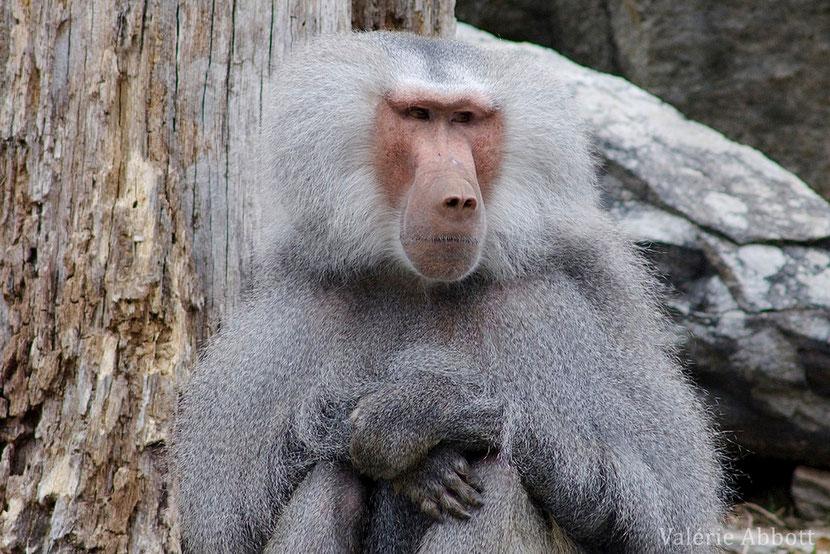 babouin hamadryas