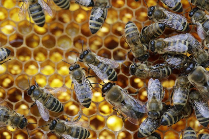 Honigbienen auf einer Bienenwabe