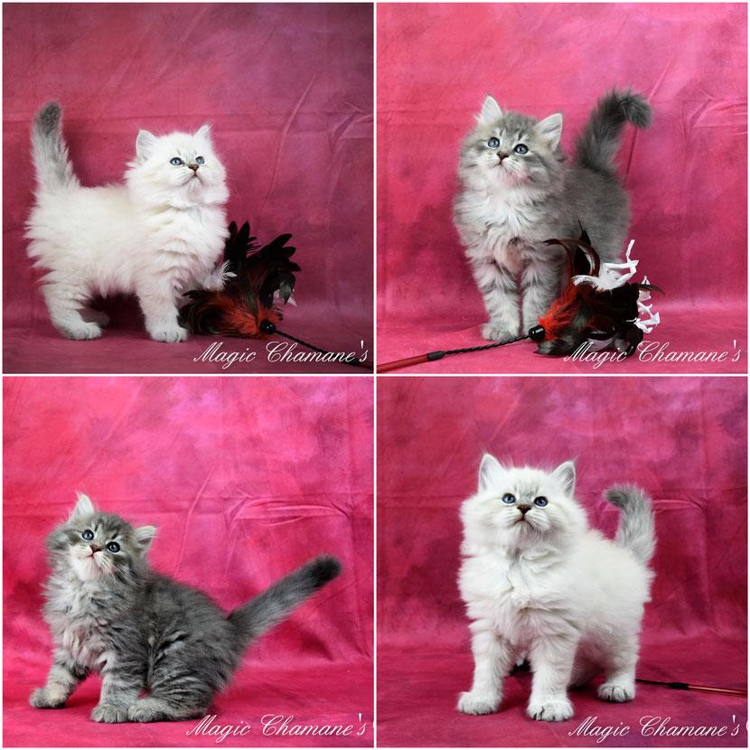 chaton sibérien beaux
