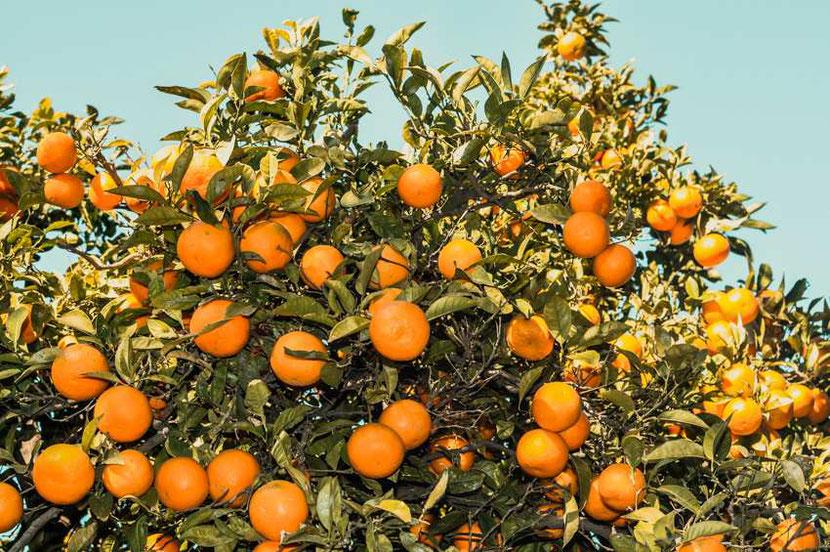magic mandarine trees with ripe mandarines in Malaga, Spain