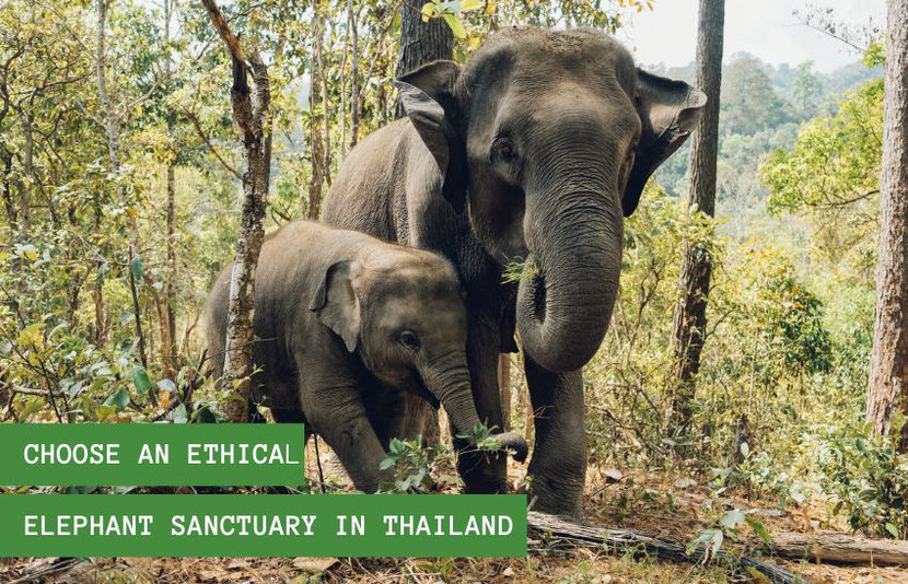 Why & How To Choose An Ethical Elephant Sanctuary in Thailand