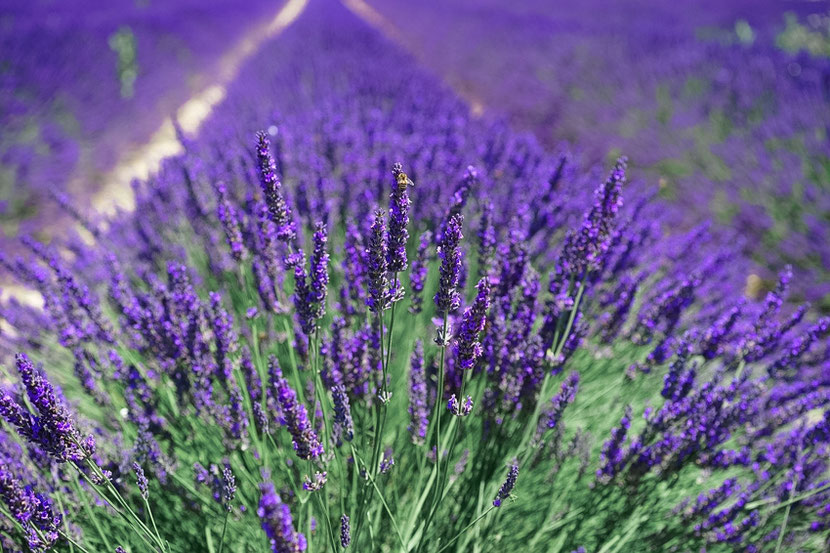 Transnistria what to see: lavender fields