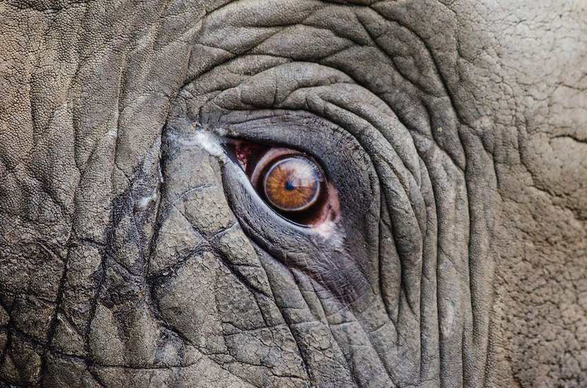 look in the eyes of an elephant