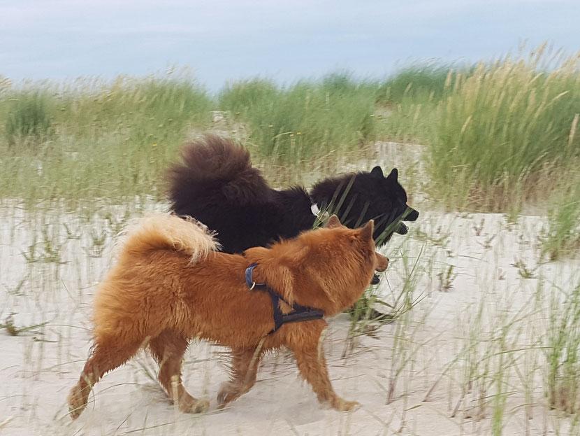 Ein roter und ein schwarzer Hunde laufen Seite an Seite am Strand entlang