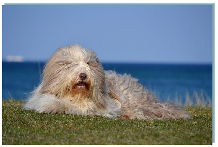 Fawnfarbene Bearded Collie Hündin