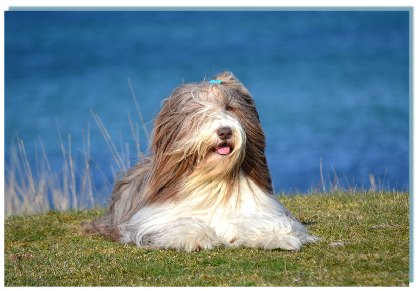 Brauner Bearded Collie